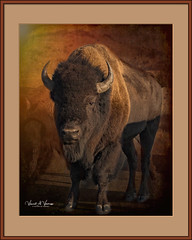 King of the Prairie (Visions by Vincent) Tags: bison animal yellowstone fantasticnature