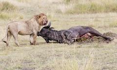 Lion  Cape Buffalo (sspike@rogers.com) Tags: lion buffalo steverossi wildlife tanzania serengeti africa nature