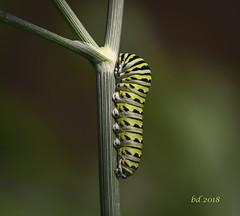 Day Three (barbdpics) Tags: barbdpics nikond4 blackswallowtailcaterpillar caterpillar gardenphotography dill gardendill macrophotography macro