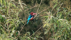 Colorful bird (Hamid L Hadidi) Tags: blue bird resting tree summer brown wetted wild colorful green hue whitethroated kingfisher