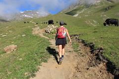 ma soeur parmi les vaches (bulbocode909) Tags: valais suisse moiry grimentz valdanniviers alpagedetorrent sentiers personnes vaches montagnes nature paysages troupeaux vachesdhérens brume vert bleu rouge