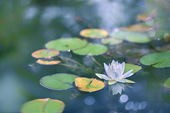 The Lily Pond (lfeng1014) Tags: thelilypond waterlily macro closeup bokeh water leaves macrophotography flowermacro light dof depthoffield reflection lilypads canon5dmarkiii ef100mmf28lmacroisusm lifeng