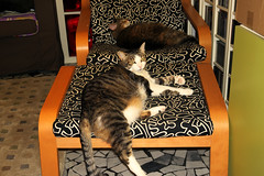 Hey you ... get out of dad's chair (Alfredo Liverani) Tags: caturday happycaturday happy forbiddenplaces forbidden places canong5x canon g5x pointandshoot point shoot ps flickrdigital flickr digital camera cameras