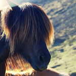 Icelandic Horse Hair thumbnail