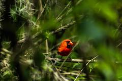 Male Cardinal (_Lionel_08) Tags: cardinal bird wild wildlife louisiana green red male nature tree