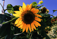 sunshine it's a friend of mine (<lisvgrvce) Tags: sunflower girasole fiori flower flowers yellow nature natura photography photographer photo fotografia foto naturephotography summer estate hot caldo
