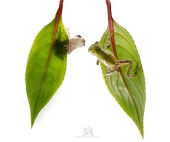 pucker up! (marianna_a.) Tags: grey treefrogs frogs tiny green sticky amphibians impatient leaves hanging stickers onwhite mariannaarmata