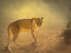 Rising up out of the dust. (Paulette Cassidy) Tags: lion lioness