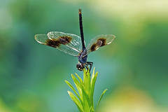 Four-spotted Pennant (noblesgeorge1) Tags: