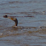 Double-crested Cormorant thumbnail