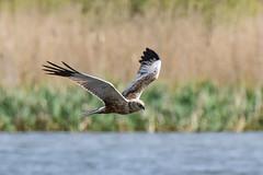 Marsh Harrier Silverdale RSPB F00300 D210bob DSC_1295 (D210bob) Tags: marshharrier silverdalerspb f00300 nikond7200 birdphotography birdphotos leightonmoss naturephotography naturephotos nikon nikon200500f56 wildlifephotography lancashire rspb