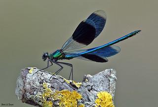 Le caloptéryx éclatant mâle (Calopteryx splendens ) avec ses ailes déployées