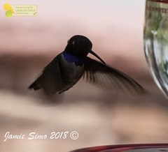 Black-chinned Hummingbird male (ironekilz) Tags: chatfieldstatepark