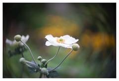 Anemone (leo.roos) Tags: anemonehupehensisvarjaponica ranunculaceae anemoon anemone swirly meyerkinonsuperiorf5cm meyerkinonsuperior5016 projectorlens projectionlens focusinghelicoidtrioplan10028 exakta darosa leoroos