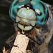 Great Blue Skimmer - Libellula vibrans, Bogue Chitto National Wildlife Refuge, Louisiana