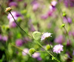 The Best Dreams happen when your Awake (barbara_donders) Tags: natuur nature summer zomer flowers bloemen butterfly vlinder purple paars bokeh macro mooi prachtig beautiful magical dreamscape droom