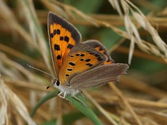 Kleiner Feuerfalter (Small Copper, Lycaena phlaeas) (gabyschulemannmaier) Tags: lycaenaphlaeas