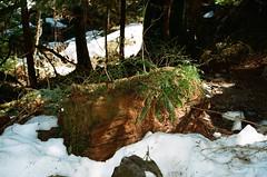 Snow Patches on Trail (Anne Abscission) Tags: laketwentytwo lake22 granitefalls verlot mountainloophighway bakersnoqualmienationalforest washington usforestservice washingtontrails snow snowcap snowmelt pnw springhike pacificnorthwest springtime pnwlife hiking hikingtrail trees log cedar ferns nature naturephotography greatoutdoors researchnaturalarea filmphotography olympusis50 olympuszlr 35mmfilm kodakgold ishootfilm filmisnotdead staybrokeshootfilm