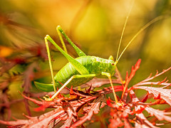 Speckled Bush Cricket (niloc's pic's) Tags: speckledbushcricket leptophyespunctatissima cricket insect bug green bexhillonsea eastsussex panasonic lumix dmcgx7 macro