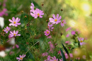 pink cosmos flowers 🌸