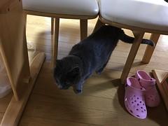 Argent Skulking About Under the Table (sjrankin) Tags: 5august2018 edited kitahiroshima hokkaido japan animal cat argent table floor livingroom slippers dark shade shadows