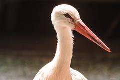 CLOSE-UP CICOGNA    ----    STORK (Ezio Donati is ) Tags: animali animals uccelli birds natura nature acqua water macro italia parcodelticino areaprovinciadipavia