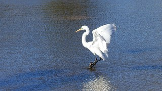 Garça - Great Egret - explore
