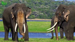 A beautiful Asian Tusker with a Herd (THE WILD ELEPHANT) Tags: huge elephant rescue video youtube quite baby funny kids videos the wild wildlife news tv