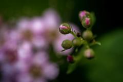 Detail (Steven Strasser) Tags: nature closeup macro upstatenewyork dutchesscounty hudsonvalley flower bud