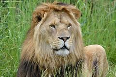 African Lion - Zoo Parc Overloon (Mandenno photography) Tags: animal animals african lion lions leeuw leeuwen ngc nederland nature netherlands zoo dierenpark dierentuin dieren bigcat big cat