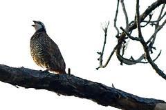 Singing Bobwhite (bmasdeu) Tags: northern bobwhite bird perched tree pine pinelands everglades nationalpark longpinekey sing