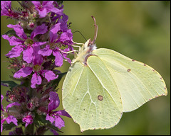 Brimstone Butterfly (John R Chandler) Tags: animal brandonmarsh brimstone butterfly gonepteryxrhamni insect unitedkingdom warwickshire warwickshirewildlifetrust coventry uk gb