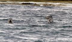 009 (dunraven48) Tags: birds northernireland sigma150500mm canon7d rspb wildlife