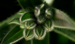 Plant (Macro) (Jocarlo) Tags: afotando creative creativa creativeartphotography flickrclickx flickraward flickrstruereflection1 flickrphotowalk flickr macro macros macrophotographers macrofotografía macrofotografie macrography macrophotography macrophotografer photomacrography sonya7 sony a7 fe90mm ngc nature natura natur naturaleza