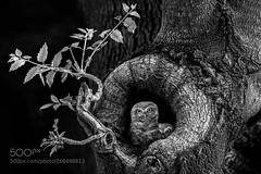 The Tree of Wisdom ! (KevinBJensen) Tags: enchanted darkness owlets owl black white add new keyword forrest