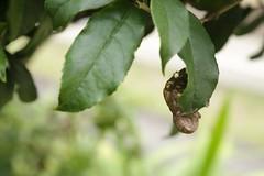 180720006 (murbozero) Tags: murbo japan cicada