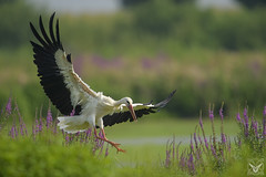 Ciconia ciconia, cicogna bianca, Cigogne blanche, white stork (Xrupex) Tags: ciconiaciconia cicognabianca whitestork beautyinnature wildbirds oiseausauvage oiseaux natureimages wilderness cigogneblanche