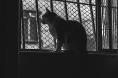 IMG_2888 (eduardo.braga) Tags: gato cat felino animal pet feline pussy kitty pb bw
