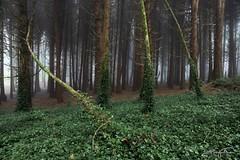 Fallen tree (jorgeverdasca) Tags: magiclight mist fog dark greenforest verde sintra portugal bosque arvores trees floresta woodland forest landscape 5dmark4 canonphotos vlogging