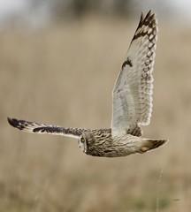 A winter treat! (Alan McCluskie) Tags: shortearedowl shortie seo owls asioflammeus birdofprey bop predator birds