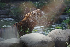 (Ulrico Hoepli) Tags: tiger water zoo reflection sprinkle tigre riflesso spruzzi