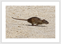 Rat (Myrialejean) Tags: rat rodent