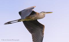 Great Blue Heron (Kevin James54) Tags: nikond850 peacevalleypark tamron150600mm animals ardeaherodias avian bird greatblueheron heron kevingianniniphotocom