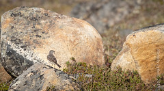 Northern Wheatear female (karenmelody) Tags: alaska animal animals bird birds muscicapidae northernwheatear oenantheoenanthe passeriformes usa vertebrate vertebrates nearnome passerine passerines perchingbirds