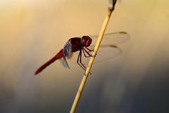 ... RED NEWBORN 👶 ... (Device66.) Tags: dragon fly redodonato xicon wildnature