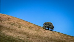 Oak on a Ridge (CDay DaytimeStudios w/1,000,000 views) Tags: antiochca blackdiamondminesregionalpreserve bluesky california eastbay eastbayregionalparks grassland hills hillside ridge sanfranciscobayarea trees