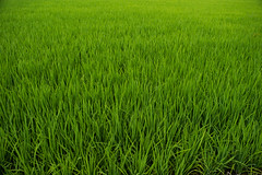 the paddy  fields (azahar photography) Tags: malaysia paddy field agriculture rice farm asia nature landscape green sky blue countryside asian harvest plant background food rural beautiful outdoor grass natural plantation crop tropical farming water yellow farmland season grow summer growth agricultural grain cloud sunrise scenery morning tourism thailand light environment organic meadow country golden terrace travel