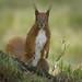 Mrs Red squirrel