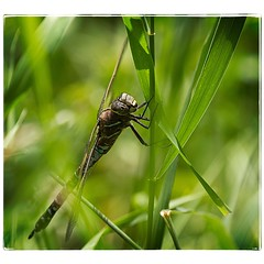 Dragonfly. #photography #photooftheday #photoadaychallenge #canon7d #sigma150600 #dragonfly #insect #grass #opcmag #project365 #yyc #calgary