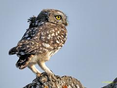 Mochuelo europeo (Athene noctua) (35) (eb3alfmiguel) Tags: aves pájaros rapaces nocturnas strigiformes strigidae mochuelo europeo athene noctua pájaro animal